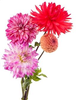 白い表面に分離されたピンクのダリアの美しい花