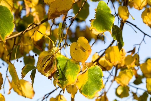 秋の落葉性白樺の木