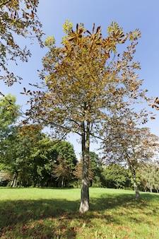 Лиственный лес во время листопада осенью и на каштанах