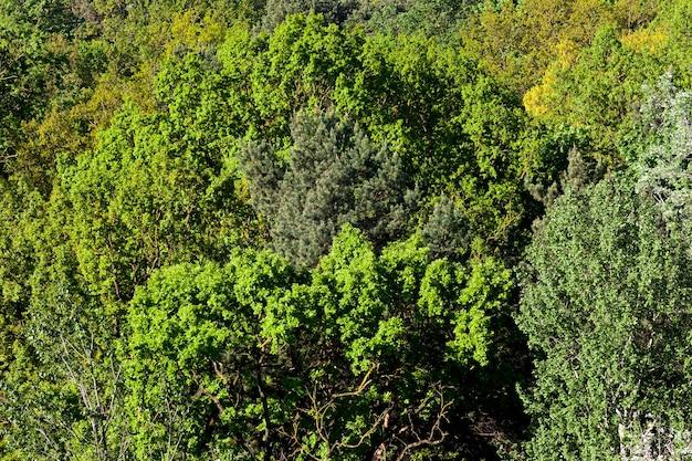 Лиственный лес со смешанными деревьями и растущими соснами и елями с яркой яркой листвой весной.