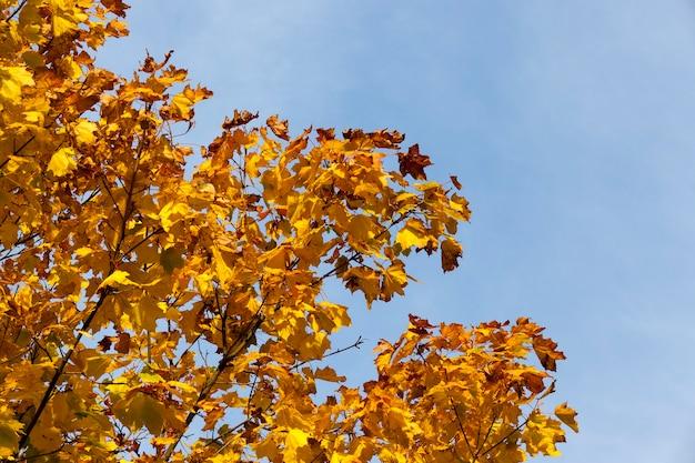 秋の紅葉の森や公園の落葉性樫の木、葉が変化する樫、公園の樫の木のある美しい自然