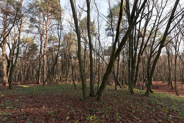 Лиственные дубы в лесу или в парке в осенний листопад, дуб с меняющимся листом крупным планом, красивая природа с дубом