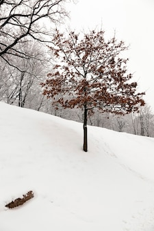 A deciduous tree in winter. covered by snow.