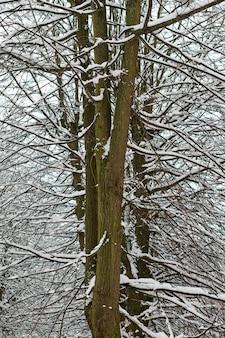 Лиственное дерево с ветвями, покрытыми снегом в лесу. замерзшая кора деревьев, ледяной ствол и ветви, зимний лесной пейзаж.