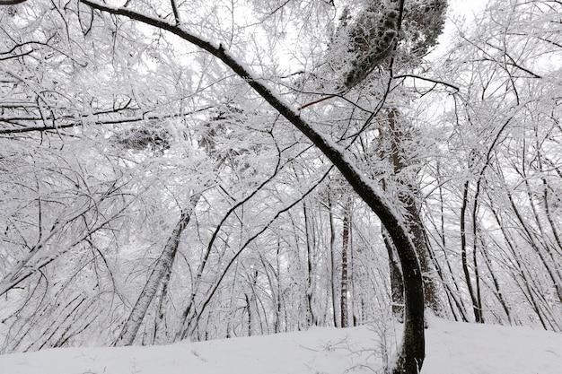 Лиственные деревья зимой, холодная морозная зимняя погода на природе после снегопада, лиственные деревья разных пород после снегопада в парке