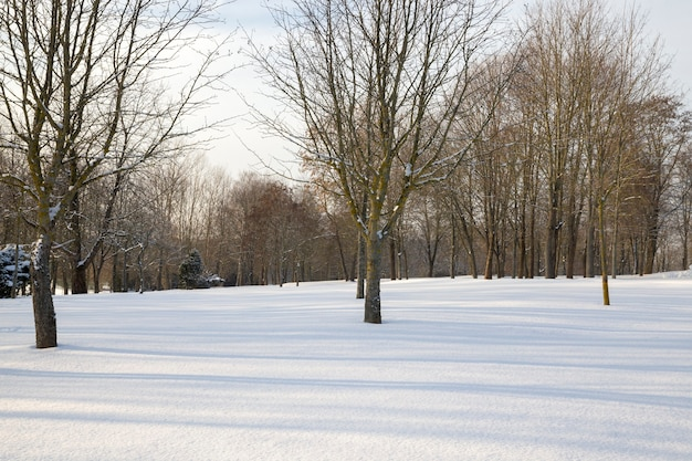 Deciduous trees under the snow  in the winter season