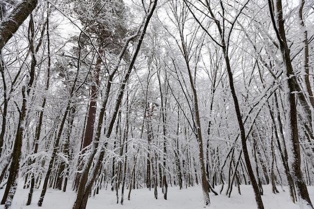 冬季に葉のない落葉樹、降雪や吹雪の後に雪に覆われた裸木、本当の自然現象