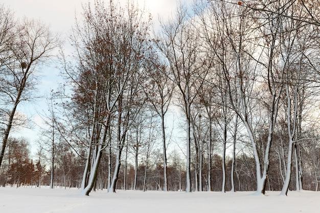 冬に葉のない落葉樹、地面には降雪後の雪の漂流、曇りの天気、