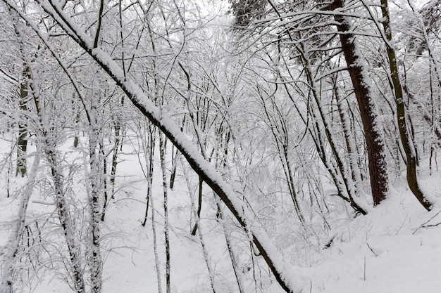 Deciduous trees without leaves in the snow after blizzards and snowfalls natural phenomena in the wi