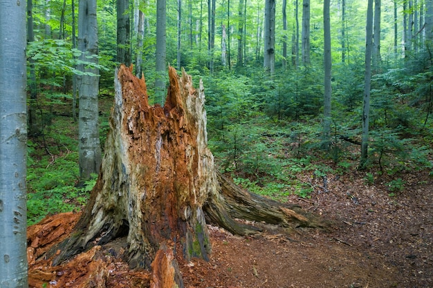 Decomposing old tree in carpathian primeval beech forest