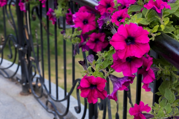 가정을 위한 분홍색 피튜니아의 신선한 꽃으로 장식
