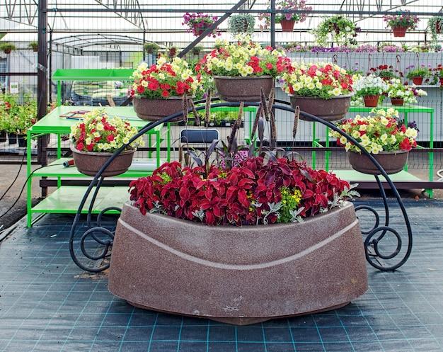 大きな植木鉢に美しいペチュニアの花を植えた園芸用品センターの装飾