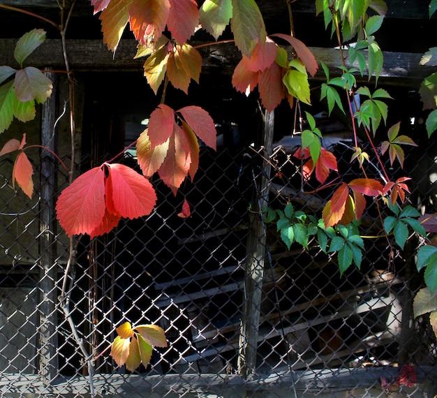 Decorative autumn grapes