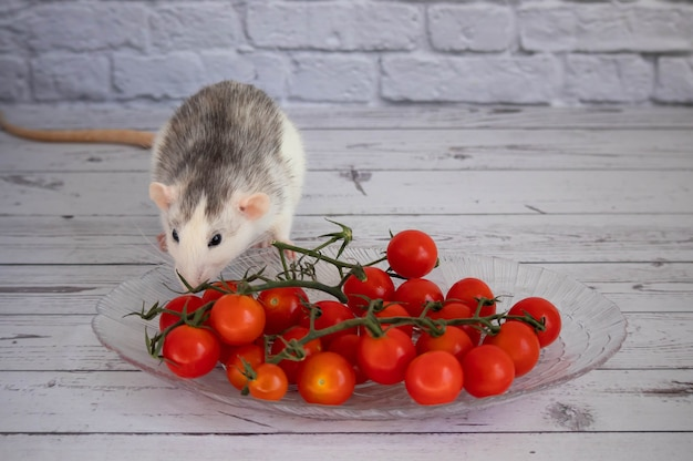 Декоративная черно-белая крыса нюхает красные и сочные помидоры черри. грызун крупным планом. помидоры на ветке.