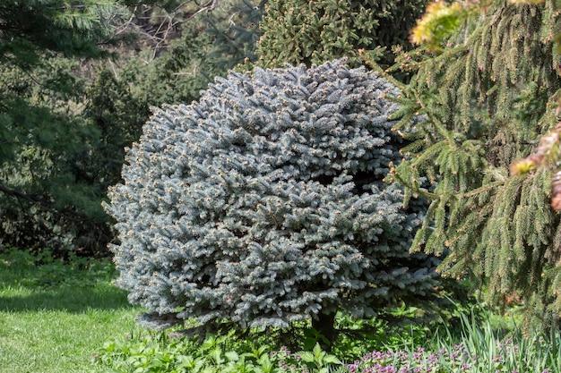 Декоративная синяя новогодняя елка, picea pungens, круглое дерево, растущее в парке