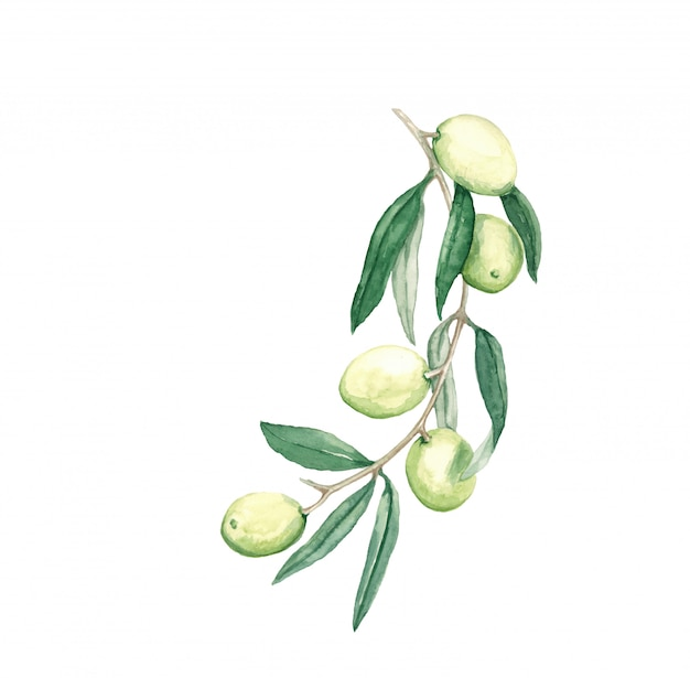 Decorative branch olives with fruits and leaves watercolor illustration