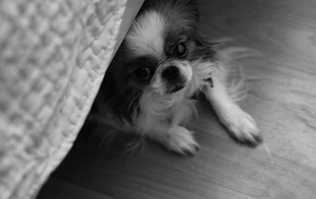 개 장식 품종. 소형 국내 개. 침대 밑에 개가 숨어 있습니다.일본식 힌도그