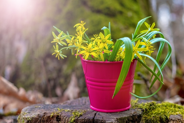 Decorative bucket with yellow spring flowers in the woods on a stump