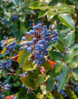 ブルーベリーの装飾的な茂み。広場、公園、庭に。