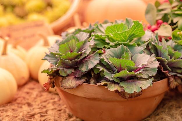 Декоративная капуста или капуста и тыквы. украшение улиц и садов к осенним праздникам.