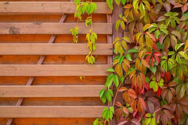 木製のフェンスに装飾的なカラフルなツタのブドウ。秋の背景