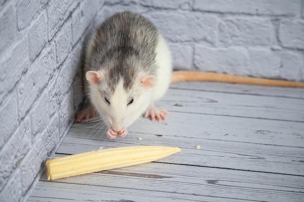 Декоративная милая черно-белая крыса ест мини-кукурузу. грызун крупным планом.