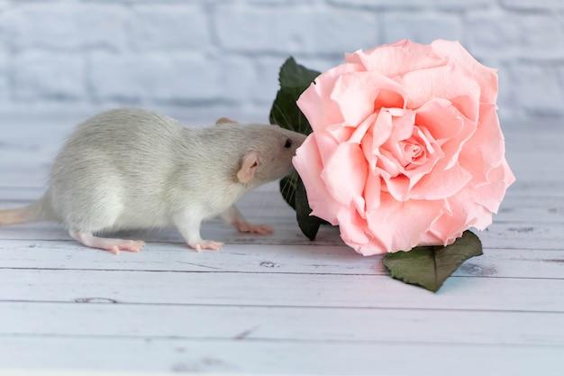 装飾的なかわいい灰色のネズミはバラの花の隣に座っています。白いレンガの壁の背景に。げっ歯類のクローズアップ。