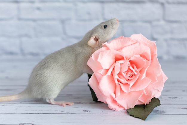 Decorative cute grey rat sits next to a rose flower. on the background of a white brick wall. a close-up of a rodent.