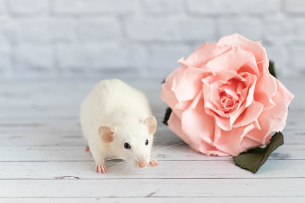 Decorative cute white rat sits next to a rose flower.