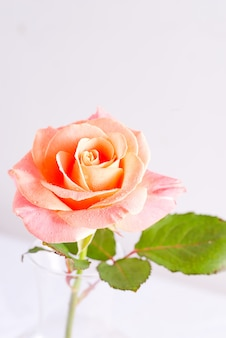 Decorative festive background from macro view of fresh natural rose flower with drops of water on the petals.