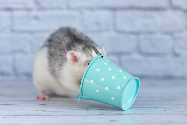 Decorative gray cute rat put its head in a bucket.