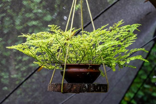 Декоративное зеленое растение растет в вазоне и подвешено на веревке.