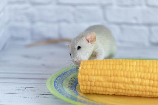Декоративная серая милая крыса ест желтую спелую кукурузу на початках. крыса крупным планом. вкусная и здоровая еда.