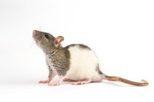 Декоративная ручная крыса на белом фоне
