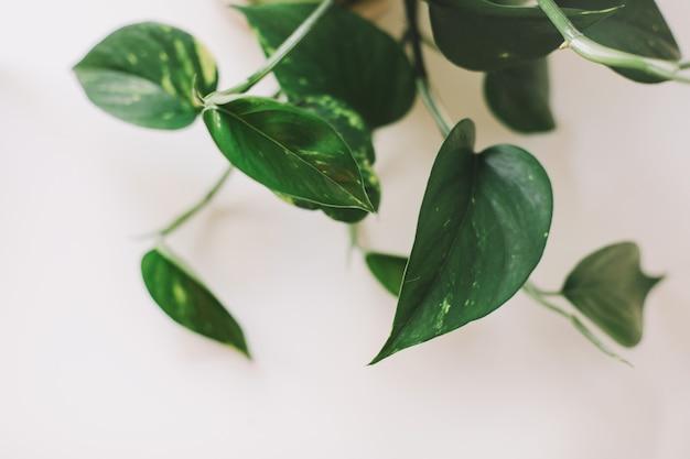 白い背景の上の大きな緑の葉を持つ装飾的な屋内植物