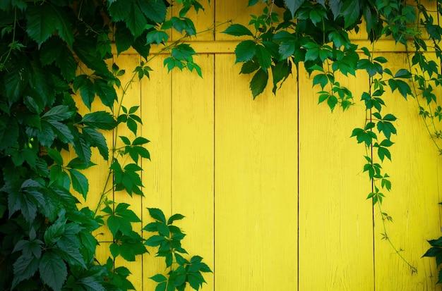 Декоративный плющ девичий виноград на желтом деревянном заборе