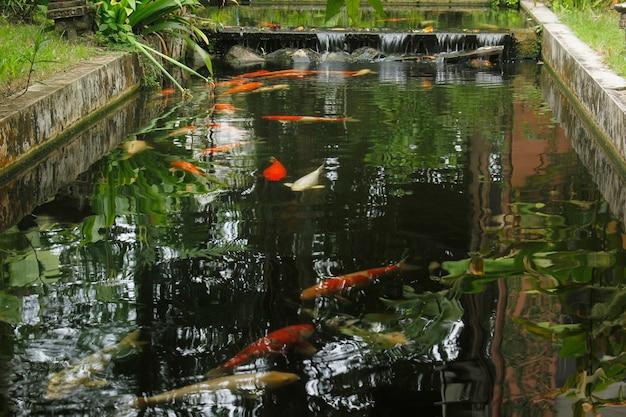Декоративный пруд с карпами кои в саду.