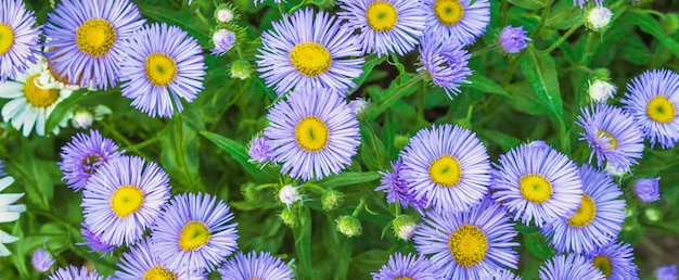 Decorative lilac flowers chamomile and green leaves close-up floral festive background for florist with copy space for text
