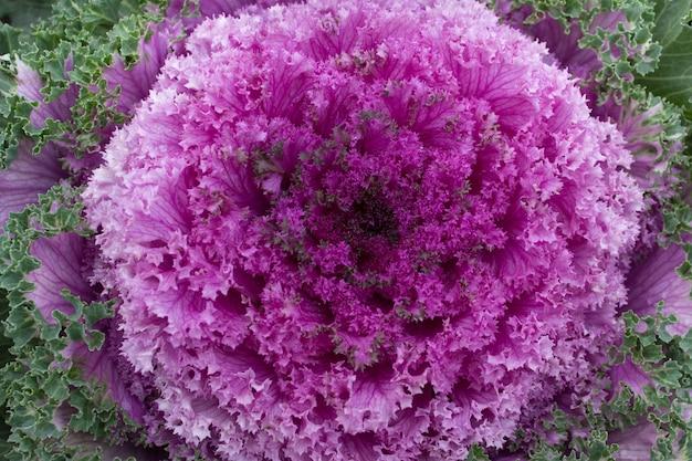 무거운 프랙탈 잎 장식 동양 핑크 정원 양배추.