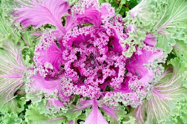 緑の葉の背景に水滴と装飾的なピンクのキャベツ