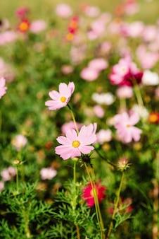 Декоративный розовый садовый цветок cosmos bipinnatus, cosmea bipinnata, bidens formosa. мексиканская астра. мягкий выборочный фокус.