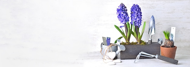 Decorative potted hyacinth in box with garden equipment in panoramic view with copy space