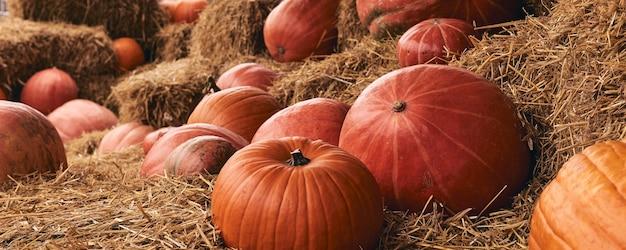 Декоративные тыквы на фермерском рынке стоит на снопах сена. день благодарения, праздничный сезон и декор на хэллоуин