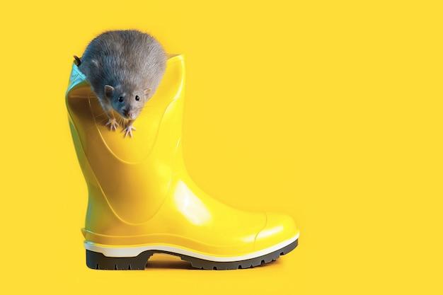Декоративная крыса в ярко-желтом резиновом сапоге на синем фоне. символизирует наступающий год крысы