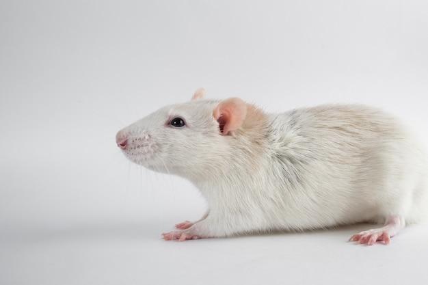 Декоративная крыса на белом фоне, вид сбоку.