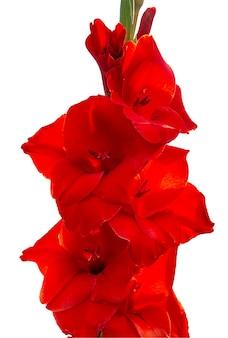 装飾的な赤いグラジオラスの花