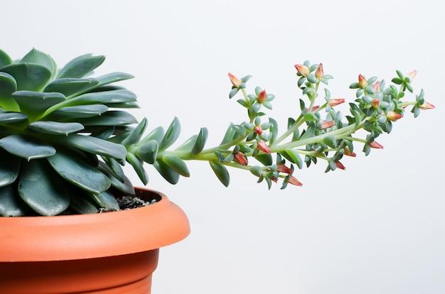 Decorative succulent flower blooms.