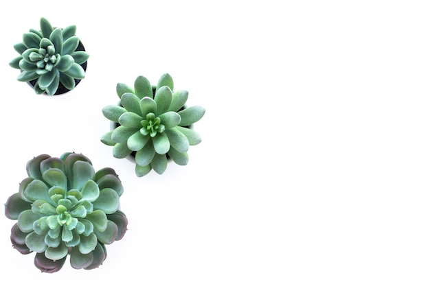 Decorative succulent plant top view isolated