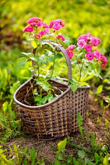 Decorative wicker basket with pink roses in domestic garden
