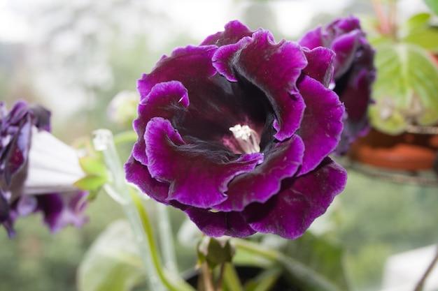 デコラム植物、美しい濃い紫色のグロキシニアの花sinningia speciosa